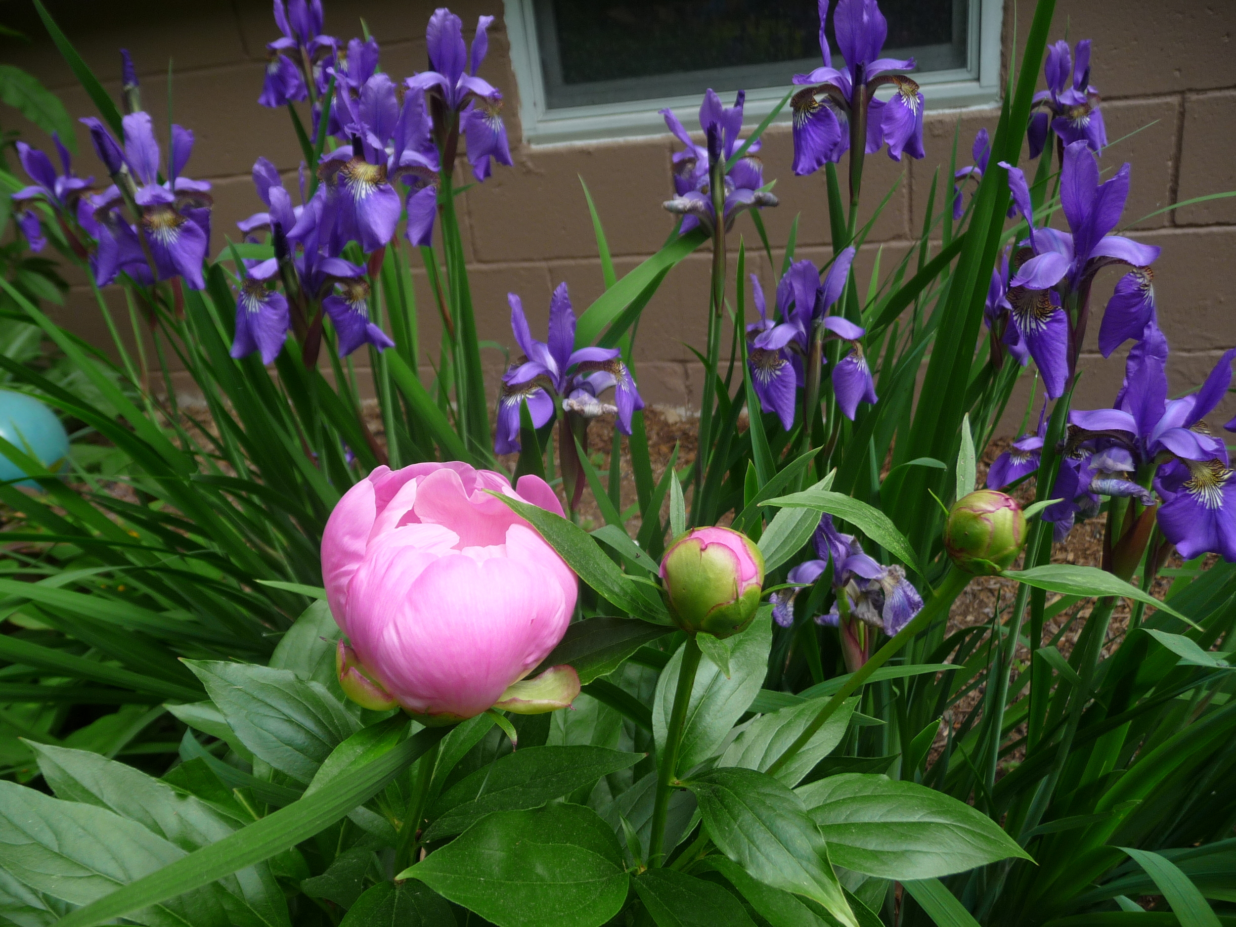 More plant combinations that bloom at the same time suanne laqueur the plants are still youngonly two blooms each this year but i love how the sword like leaves of the iris cut through the peony leaves izmirmasajfo