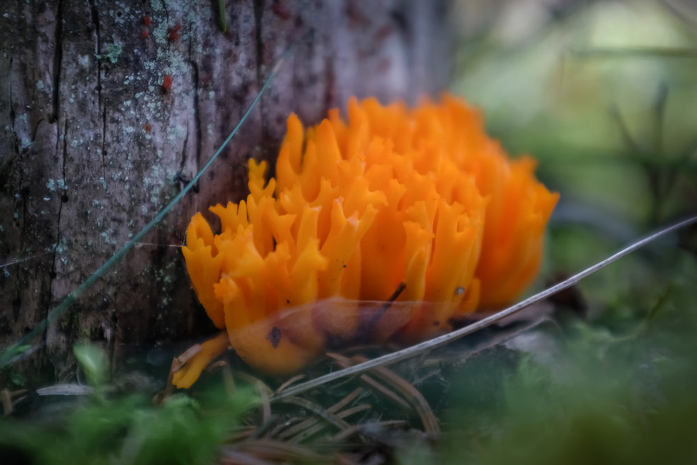 A bright orange, coral shaped mushroom.