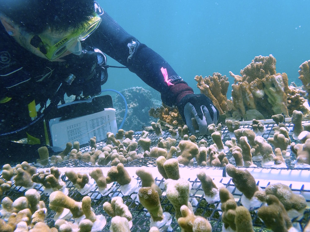 Dr. Gates and her team are studying why some corals survive bleaching events, and others, sometimes just inches away, perish.