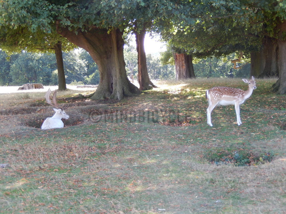 Fallow Deer About to Rut  copy.jpg