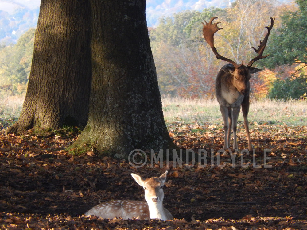 Fallow Deer about to Rut.jpg