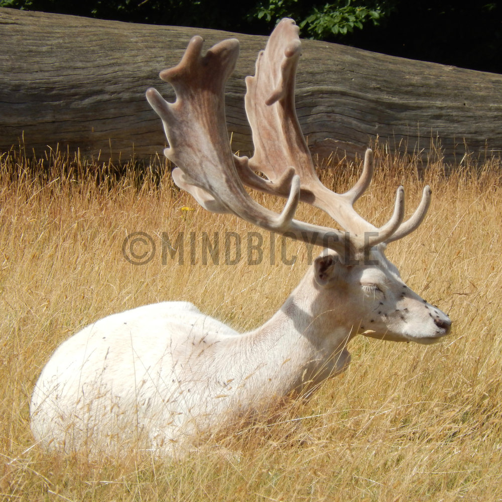 Fallow Deer in Velvet near Rutting Season.jpg