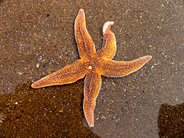 Starfish,_Caswell_Bay_-_geograph.org.uk_-_409413.jpg