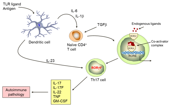 Expression of the IL23 receptor is a critical step in enabling development of pathogenic T cells. This key gateway is unlocked through expression of RORγ and its activation by endogenous ligands