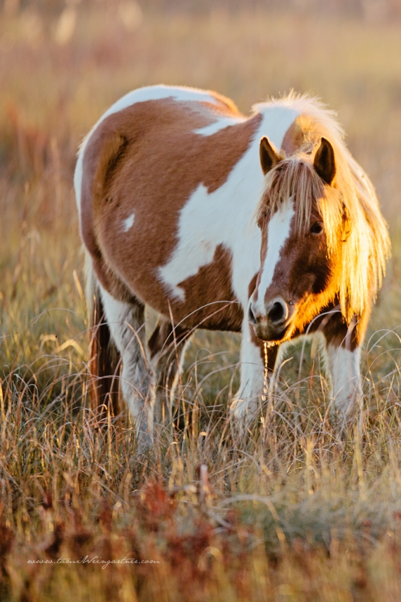 Wild Pony Mare on Chicoteague Marsh drinking from a small water hole.