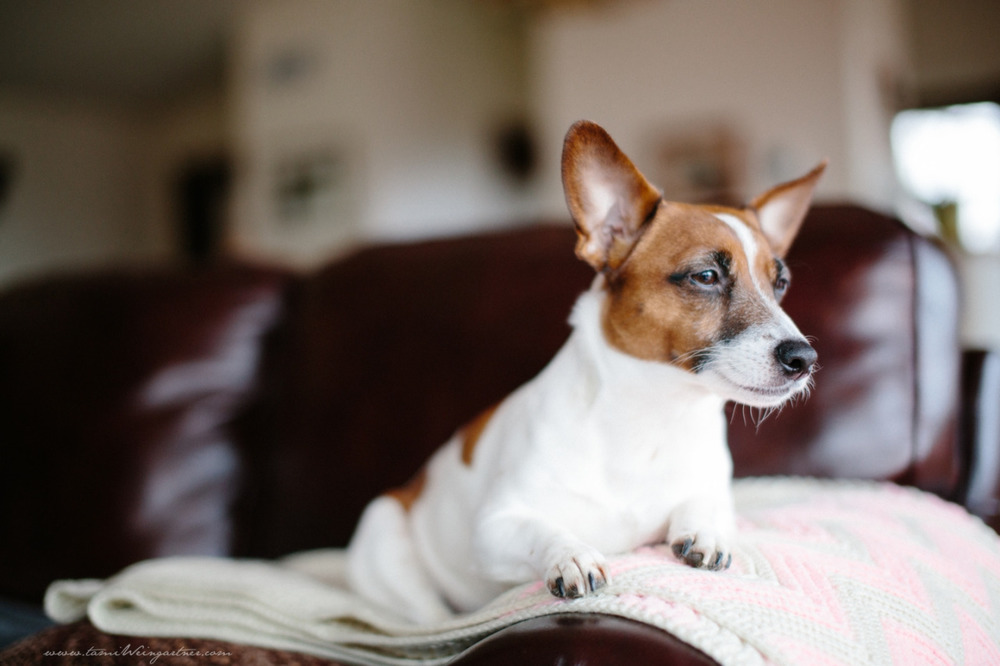 Lifestyle Dog Photography.  Jack Russell Terrier, Clarice.