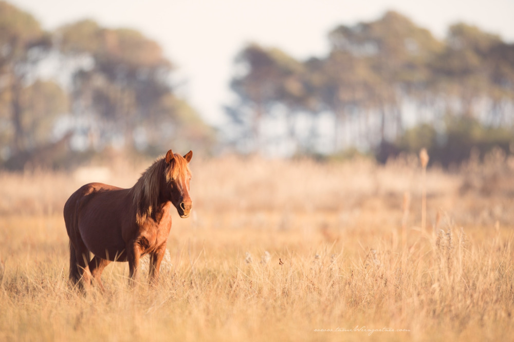 Pregnant wild pony mare of Chincoteague.