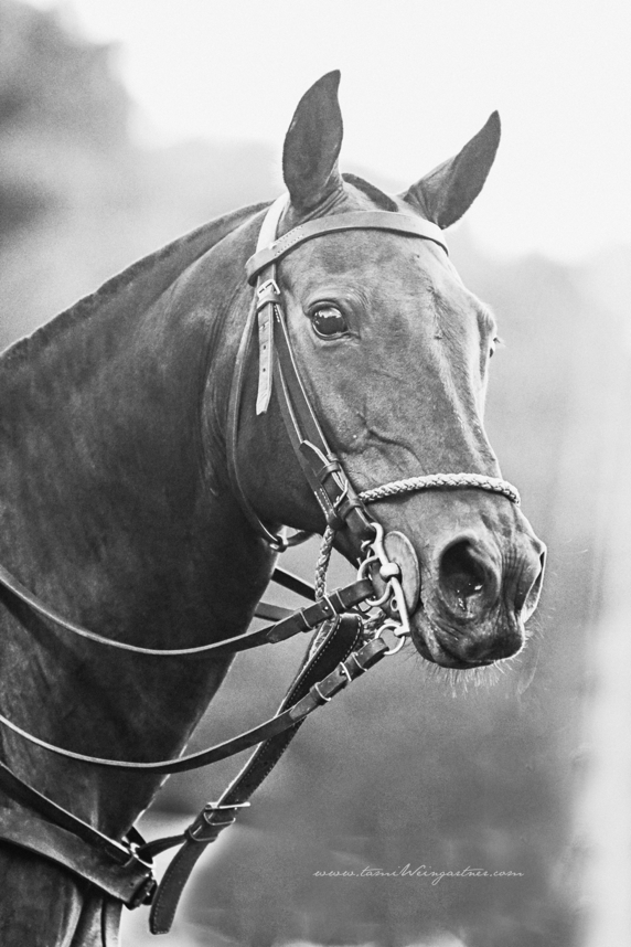 One of my very favorite Polo Ponies to watch play.  She's from Chile and am told she can be naughty to ride.  BUT watching her play on the field is like watching a dream.  And she makes for a gorgeous head shot.