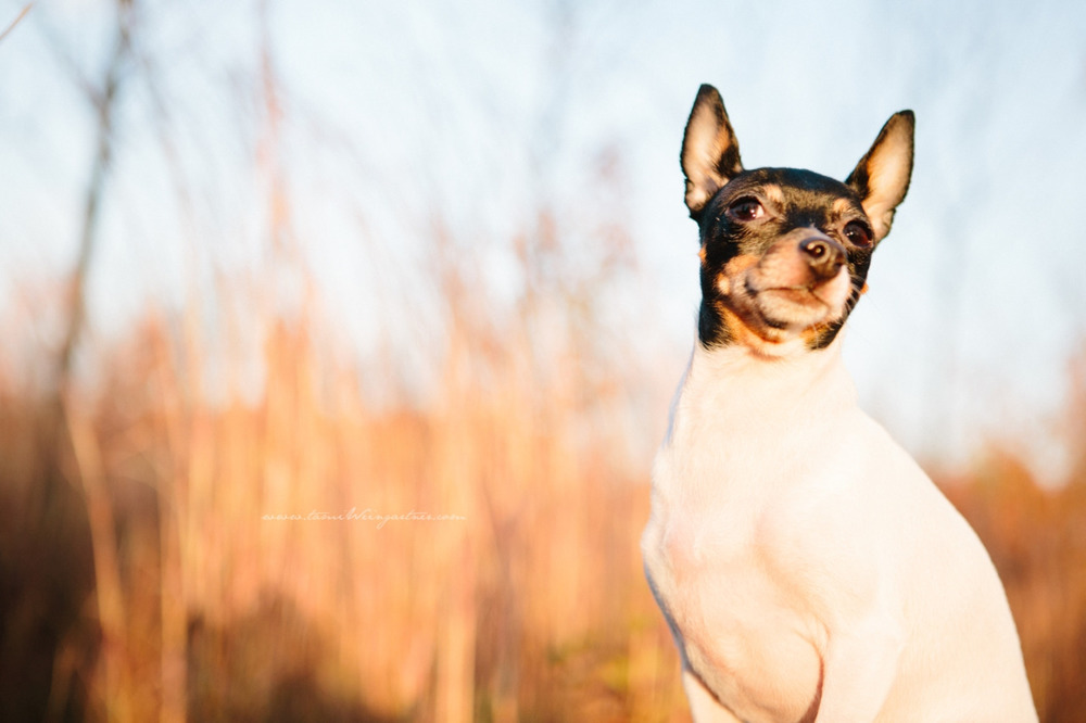 Toy Fox Terrier, Lulu