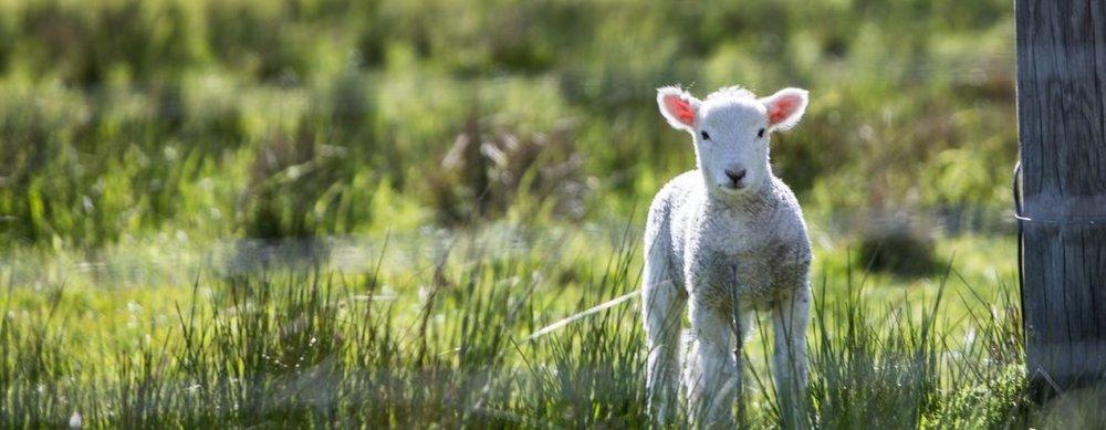 Lost-Lamb-1080x420.jpg