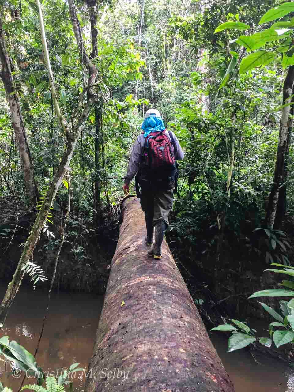 "Laura Marsh crossing the fallen tree bridge over the river on a hike in ""terra firme"" or upland rainforest."