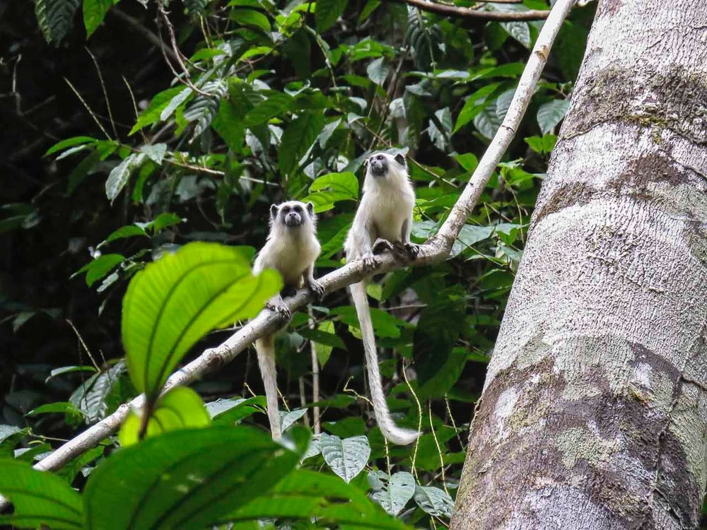Seeing double! These absurdly cute tamarins (Leontocebus weddelli melanoleucus) are common here on the Rio Eiru. Foto: Shayna Whitaker.