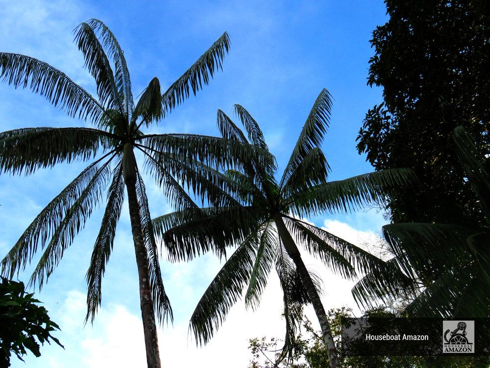acai palm trees.jpg