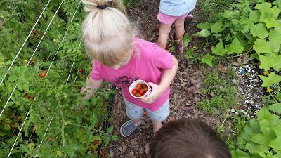 Garden on Marais Clover Buds harvesting tomatoes!