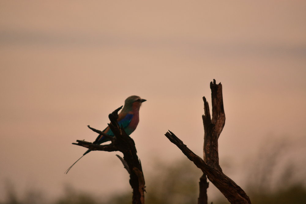 Lilac Breasted Roller at Sunrise - Alex Lichtenberger