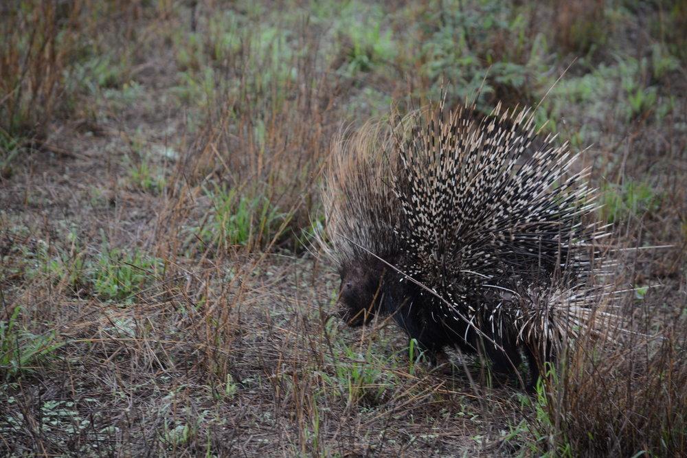 Porcupine - Alex Lichtenberger
