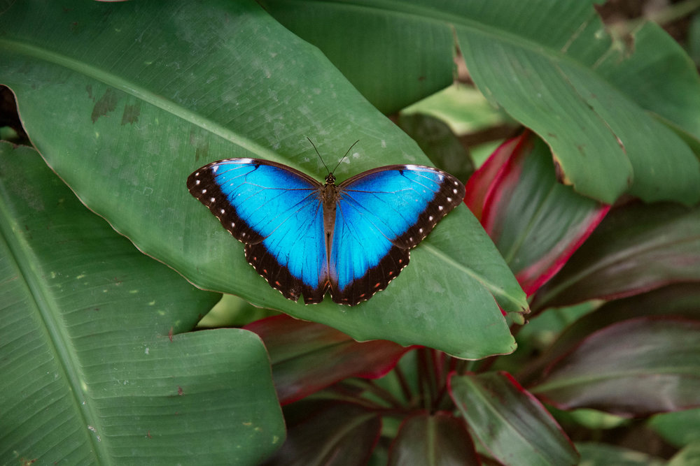 Blue Morpho - Lana Tilke