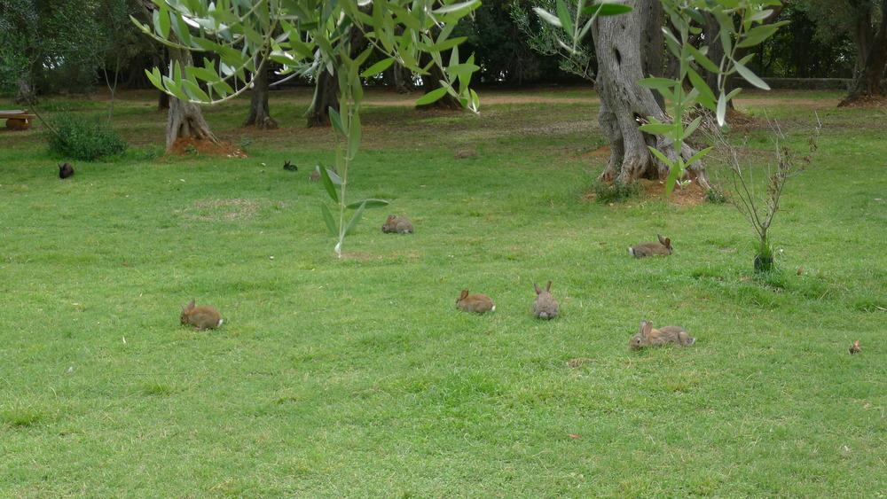 Rabbits on Lokrum Island, Croatia