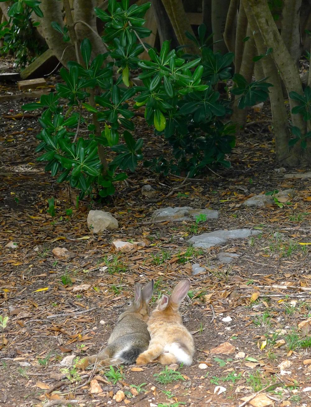 Bunnies on Lokrum Island Croatia