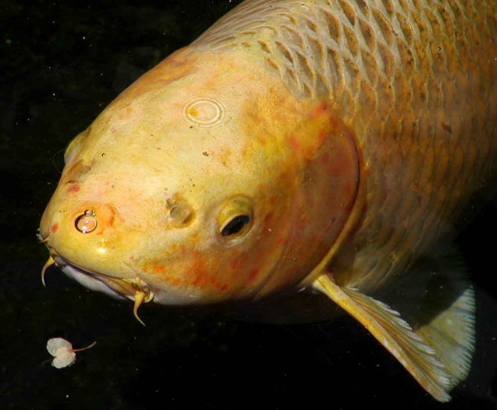Koi_head_closeup.jpg