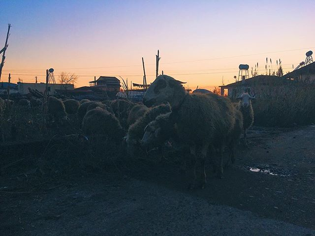My new commute home . . . . #sunset #sheep #beautiful #albania #photography #adventure #discover #discoverportrait #travel #travelphotography #travelgram