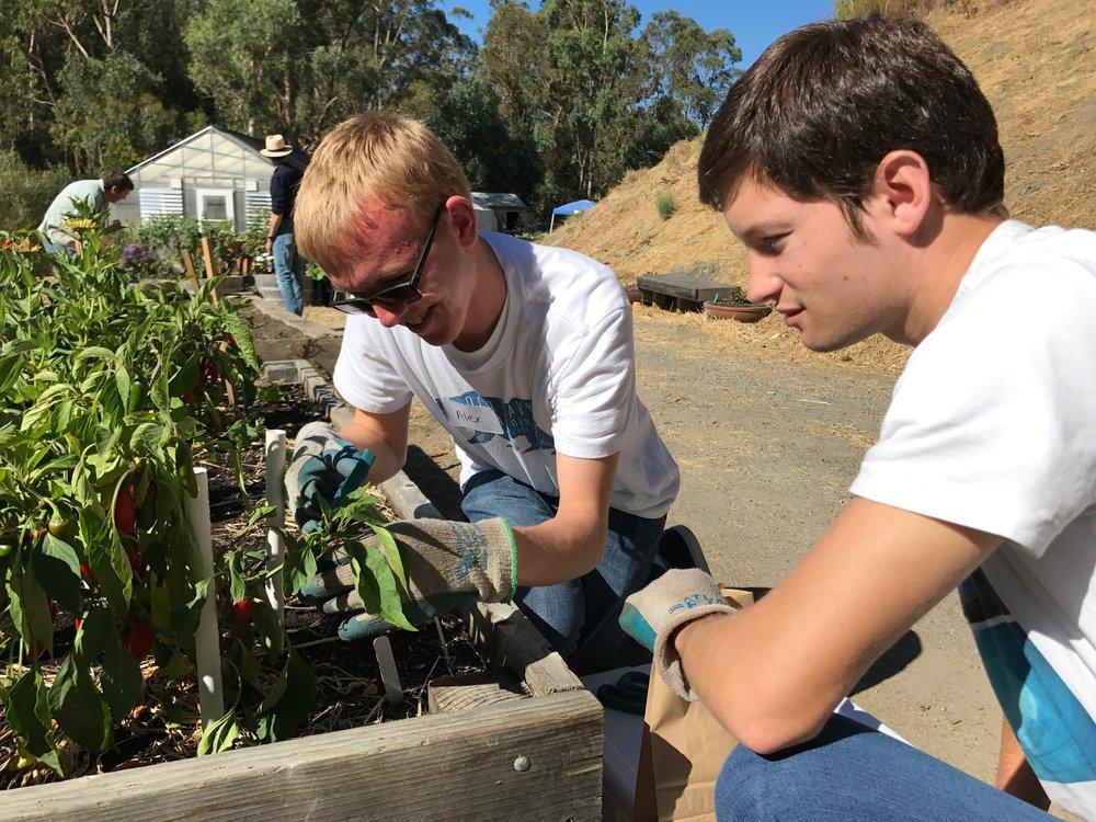 Alex demonstrating how to harvest jalapenos.
