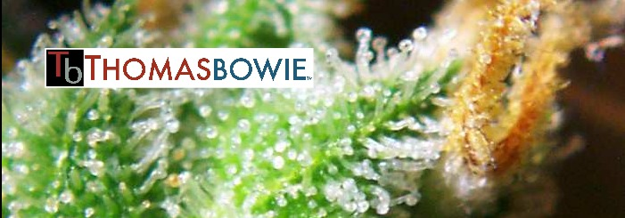The Bowie Report. Cannabis caregiver and grower