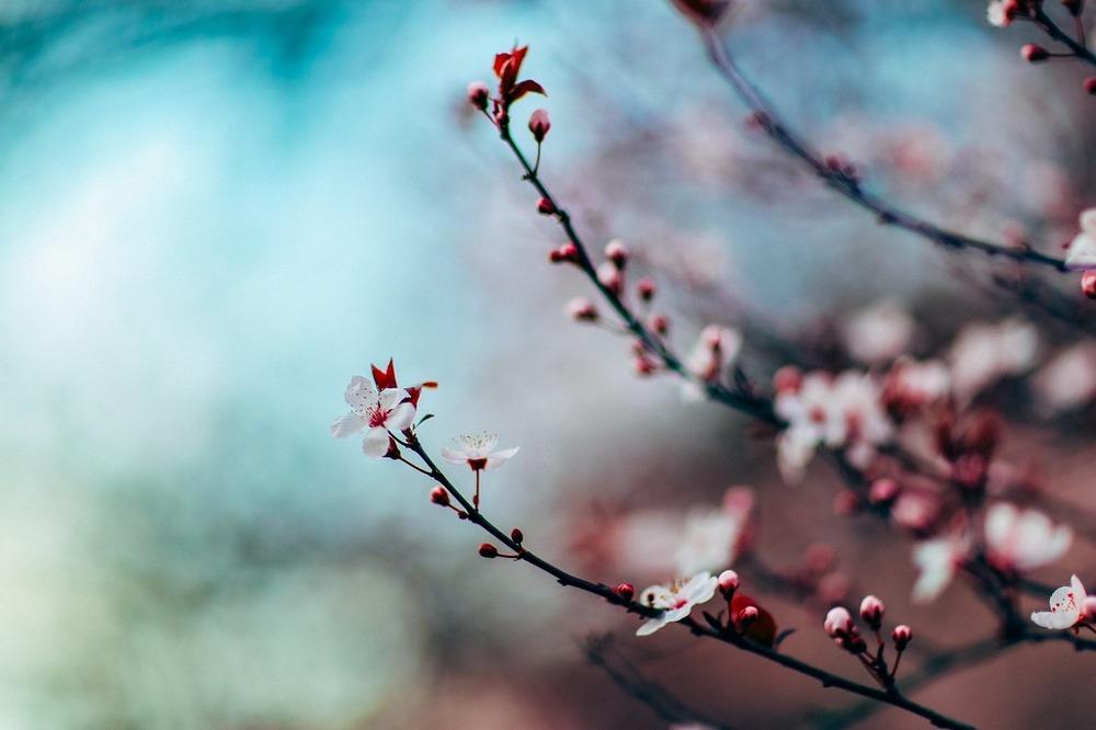 cherry-blossom-1209577_1280.jpg