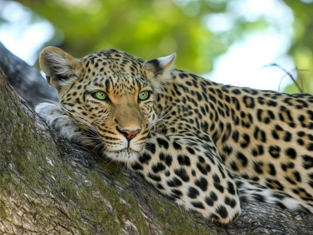 leopard-515509_1280.jpg