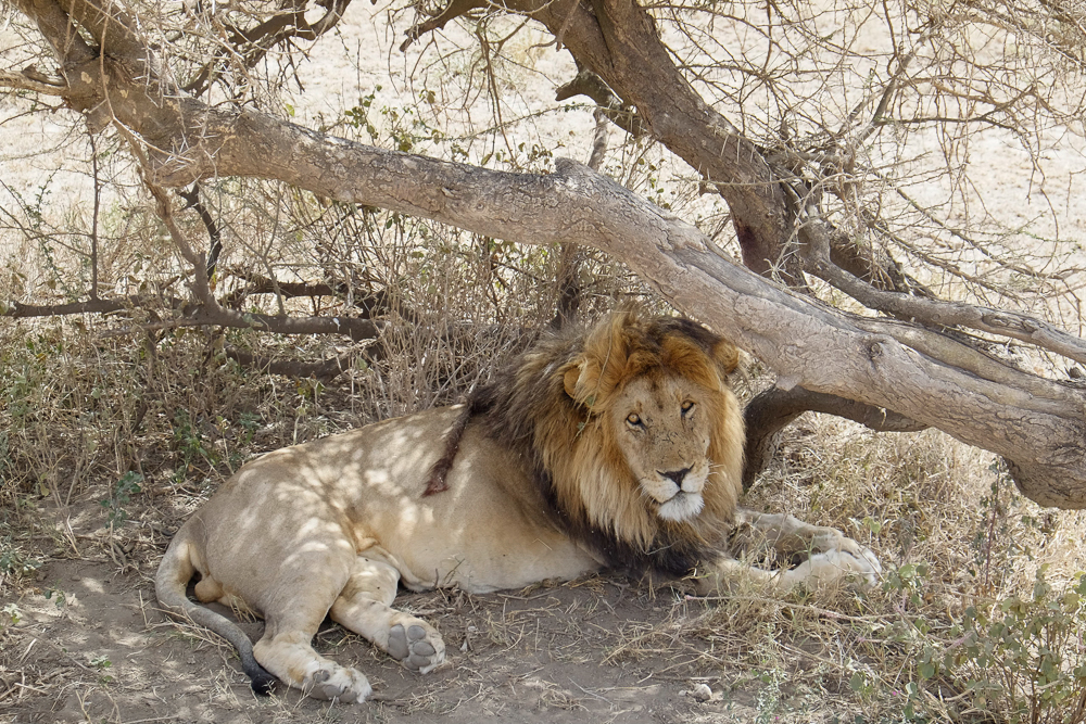Bob Marley the lion. Researchers tied a dreadlock in his mane to make him easier to identify.