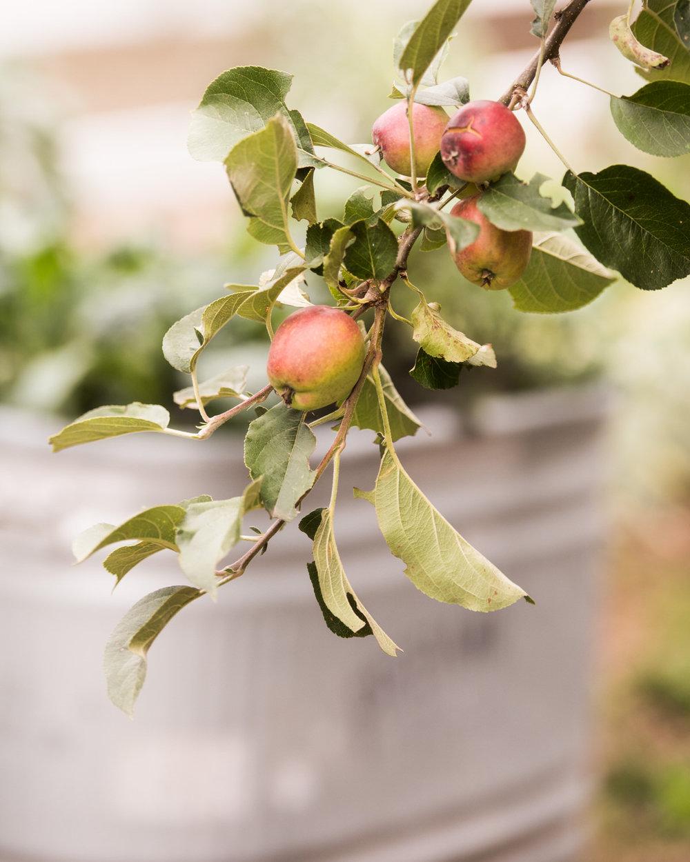 Bainbridge Island Apples Farm Wedding Cider.jpg
