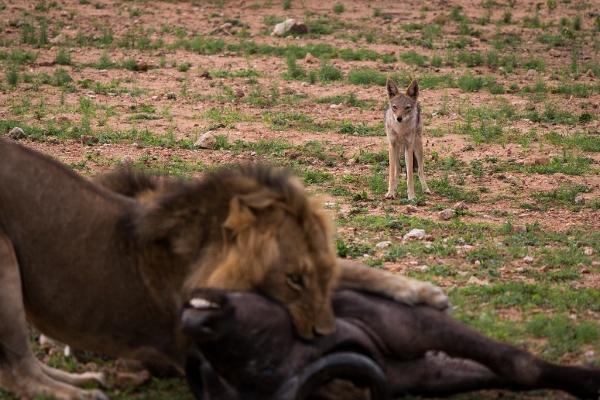 løve og hyene.jpg