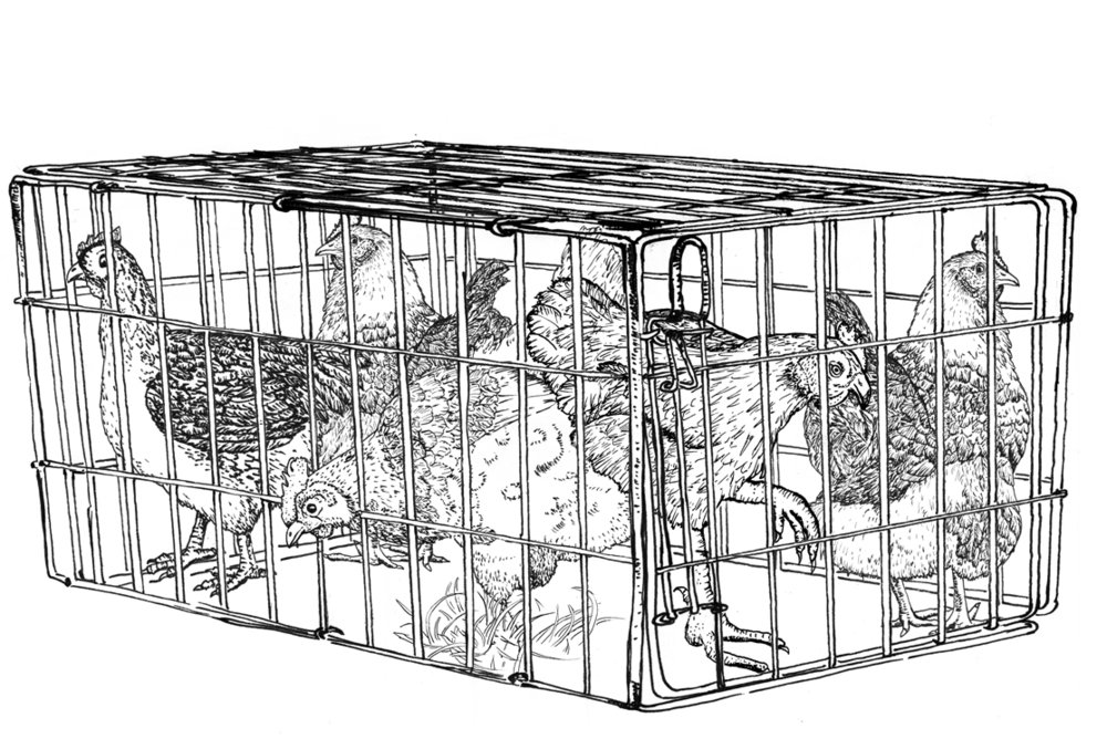 cage front_CAGE-CHICKENS.jpg