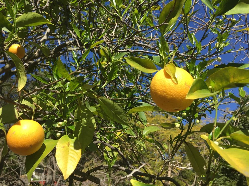 SB oranges.JPG