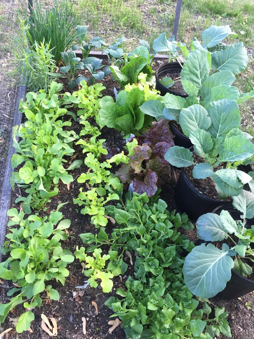 pretty veggie garden.JPG