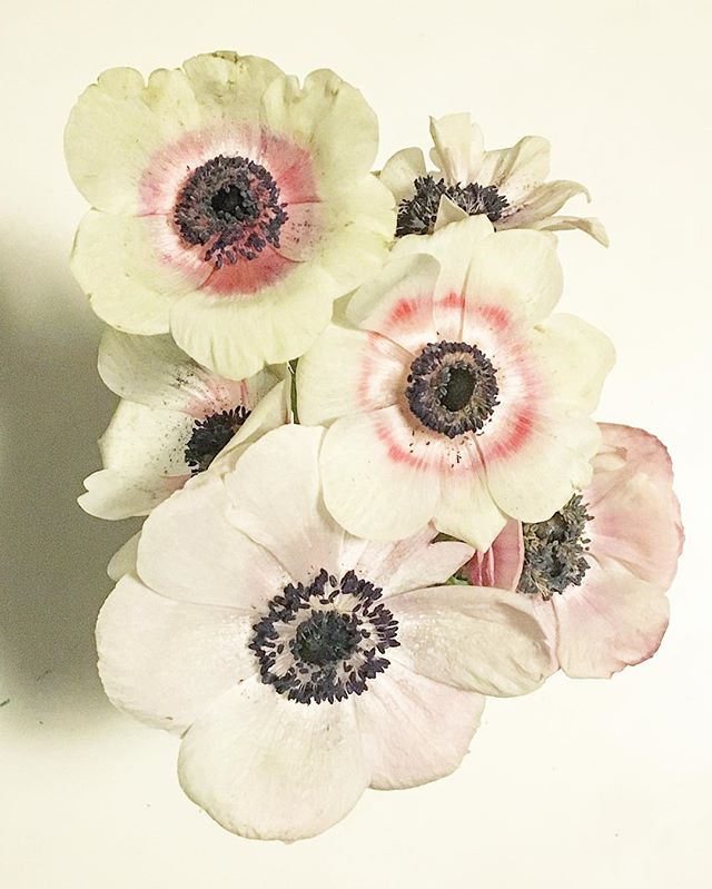 Bloom #anemone