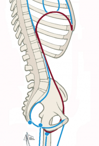 A wonderful picture from the side of the diaphragm/psoas connection from Tom Myers and  Anatomy Trains  ( image source )