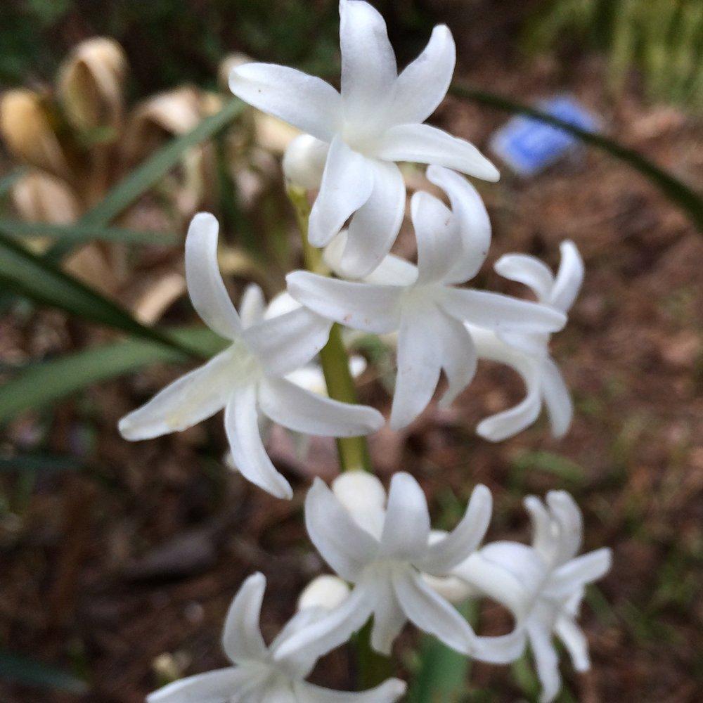 True French Roman Hyacinths