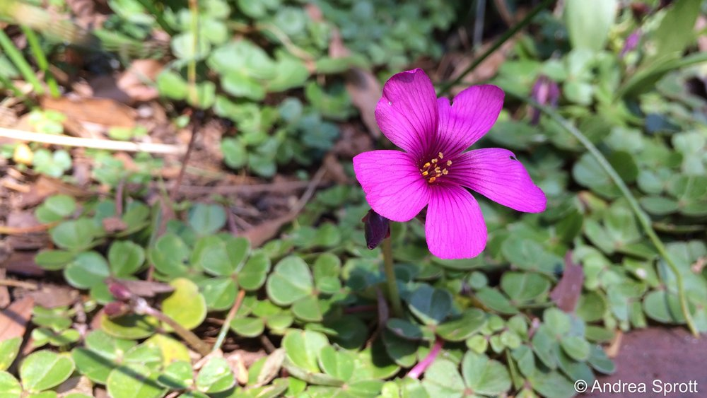 Oxalis brasiliensis•  South American Oxalis(planted by Elizabeth Lawrence in 1950)