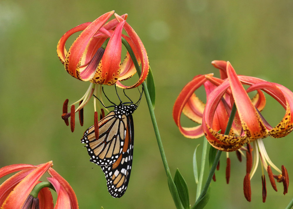 Pictured: Sandhills Lily and Monarch Butterfly Photo credit: Will Stuart