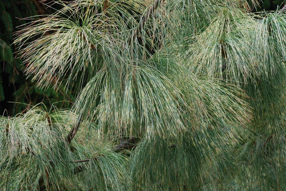Pinus-wallichiana-Zebrina-4.jpg