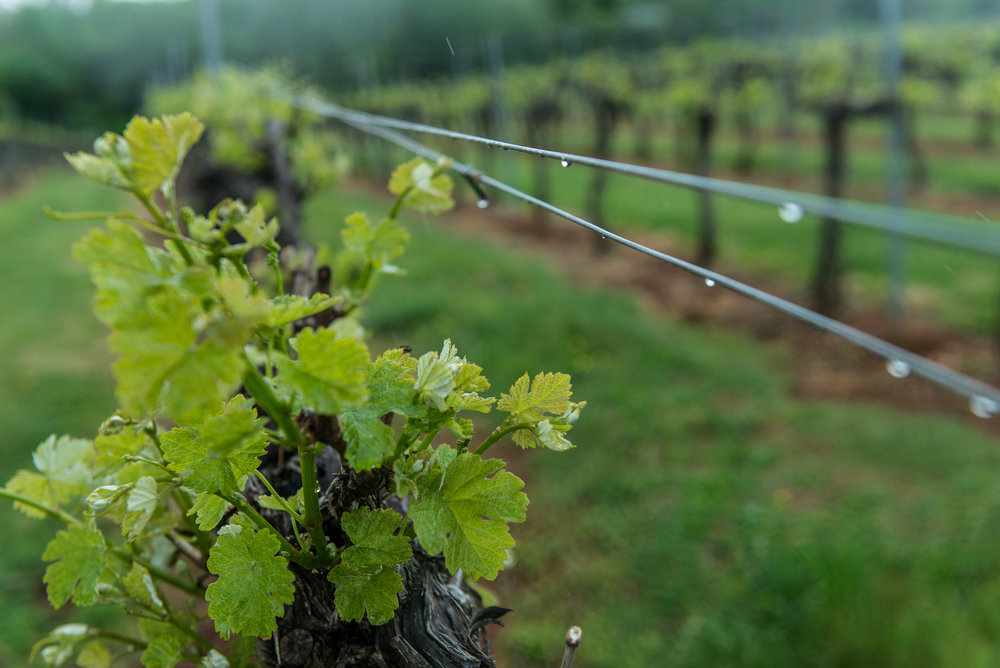 The vineyard at Keswick Vineyard in Charlottesville, Virginia