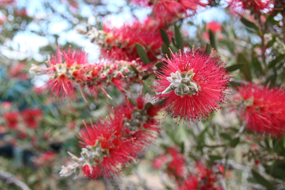 bottlebrush2