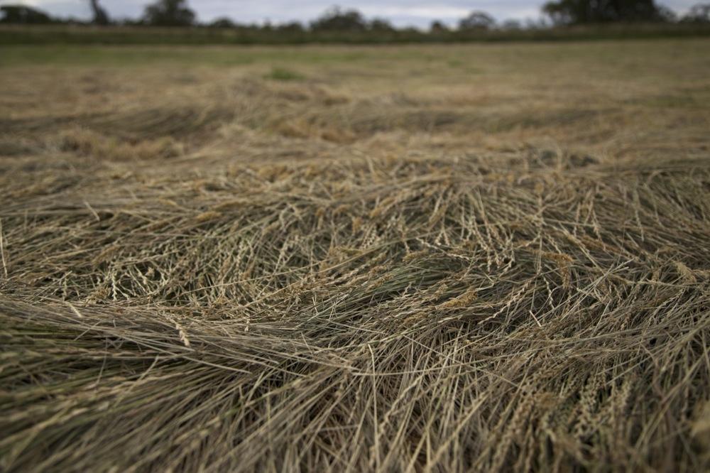 haycutting01