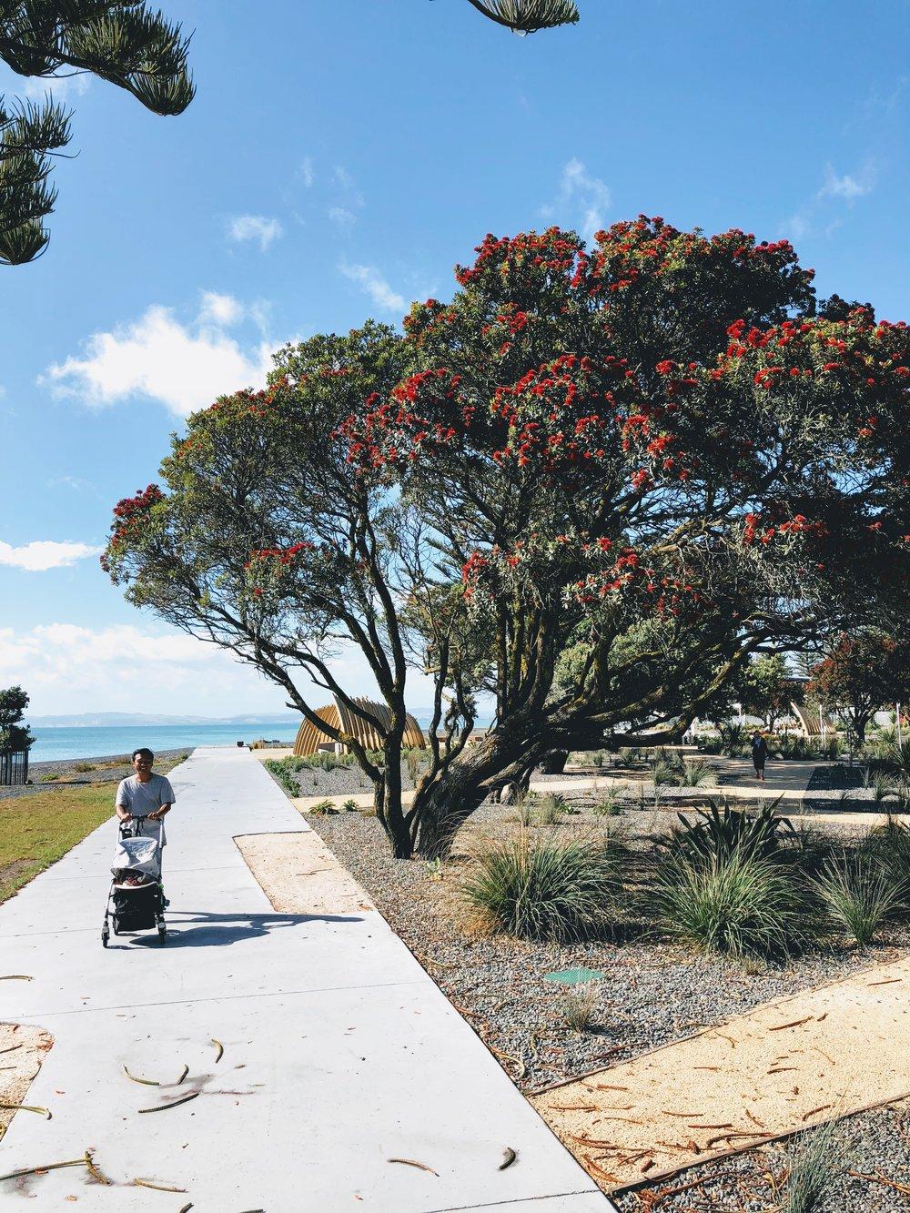 Pohutakawas blooming along Marine Parade