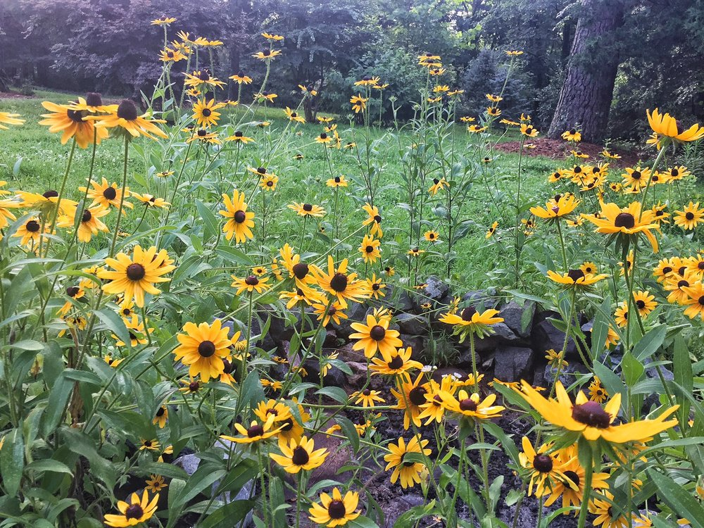 Black Eyed Susans in the front yard