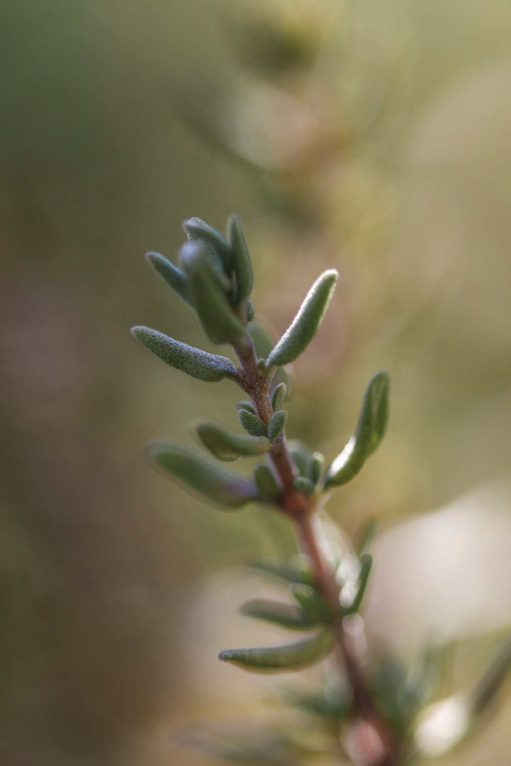 Thyme sprig. I love to discover beautiful details in common plants through my macro lens.