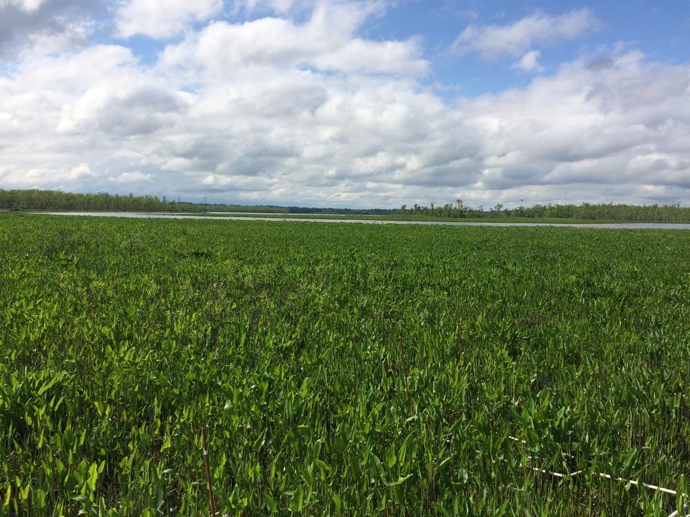 Cumberland marsh, Pamunkey River VA