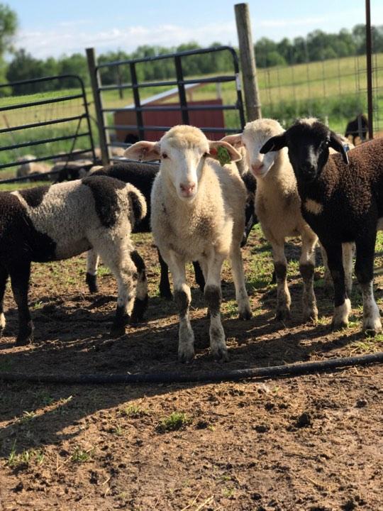 lambs 3.jpg