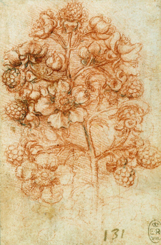 Plant studies: blackberry
